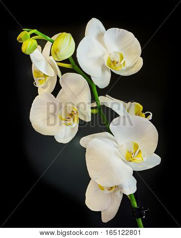 White Branch Orchid  Flowers, Orchidaceae, Phalaenopsis Known As The Moth Orchid, Abbreviated Phal.