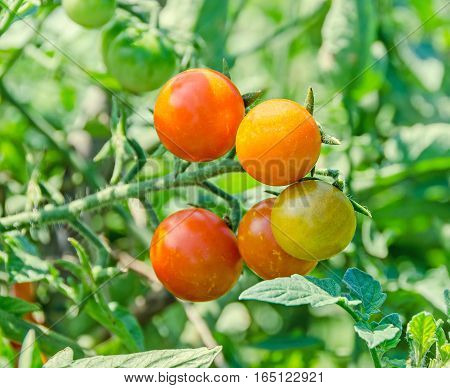 Red Cherry Tomato, Edible Red Fruit, Berry Of The Nightshade Solanum Lycopersicum, Commonly Known As