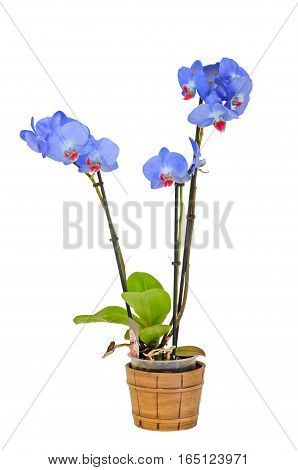 Blue Branch Orchid  Flowers With Green Leaves, White Vase, Orchidaceae, Phalaenopsis Known As The Mo