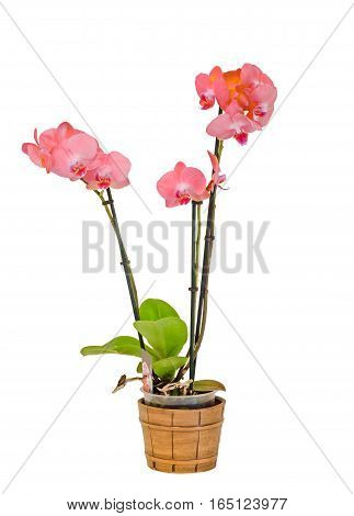 Pink Branch Orchid  Flowers With Green Leaves, White Vase, Orchidaceae, Phalaenopsis Known As The Mo