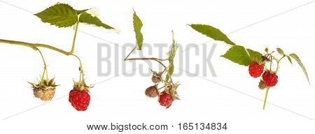 Raspberries On A Branch. Of The Bush Isolated On White Background
