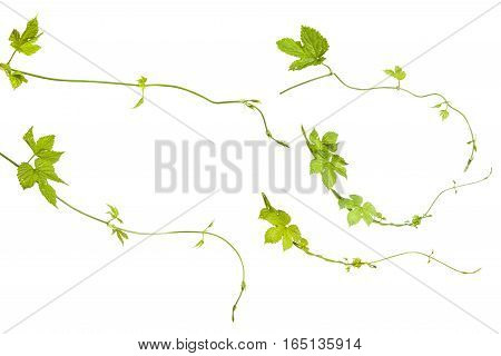 Young Shoots Of Hops Isolated On White Background. Set
