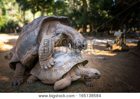 A view of two Aldabra Tortoise having sexual intercourse on the grass. January 2017