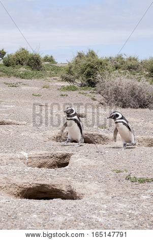 Magellanic Penguin Of Punta Tombo Patagonia