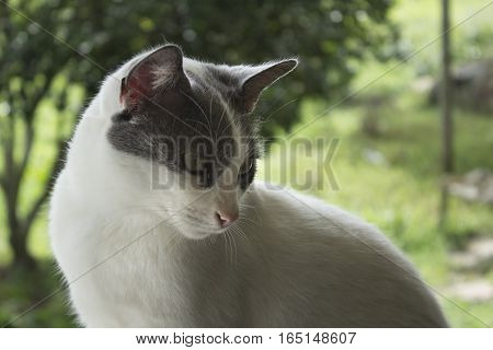 portrait of a grey and white cat