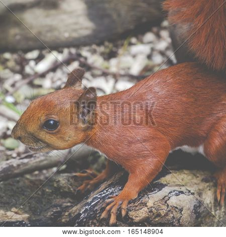 wild Red squirell close up in rainforest