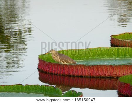 One Chinese Pond Heron Bird Resting on the Vibrant Green and Red Color Victoria Lotus Leaf, Bangkok, Thailand