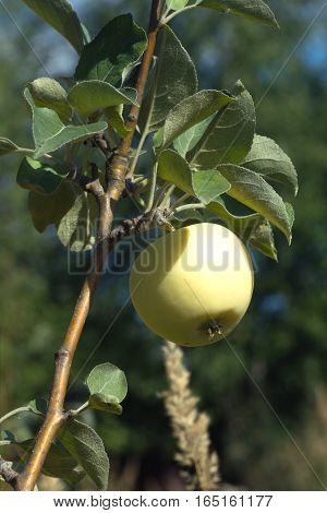 Apple varieties White filling growing on apple tree branch on a hot summer day. Vertical photo close-up