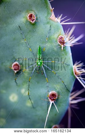 A startling green Lynx Spider (Peucetia viridans) awaits prey on a prickly pear cactus pad. The reflection patterns on the thorax make it look almost like a skull.