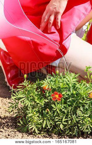 Gardening. Closeup woman working in her backyard garden watering plants flowersbeds outdoor