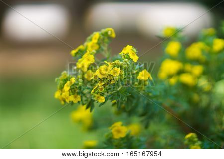 Tiny yellow flowers with intentionally blurred background