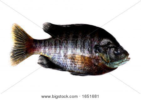Male Bluegill