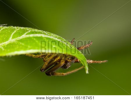 Spider Hide Under Leaf