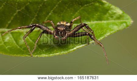 Spider En Face