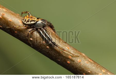 Spider Lie Prone