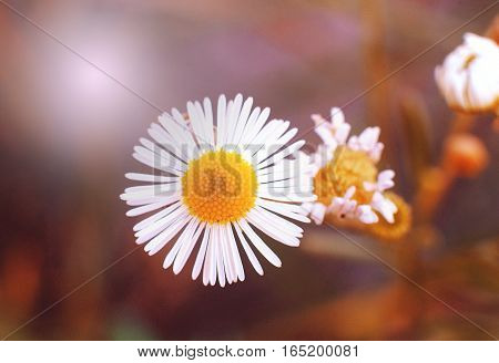 Macro of blooming beautiful white daisies flowers. Lovely blossom daisy flowers, background blured. Beautiful view from above on blossom camomile flowers.
