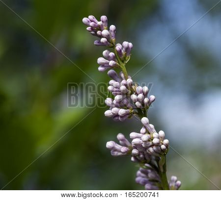 White, purple buds in closeup, macro. Cluster on a small stem.