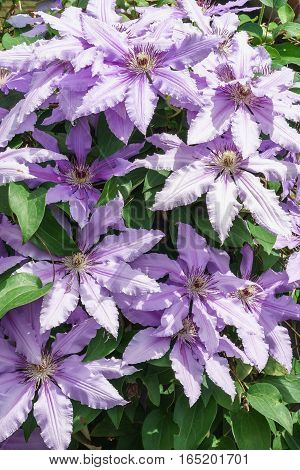 Abundant flowering clematis varieties Polish General Sikorski (lat. Clematis General Sikorski)