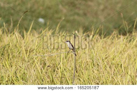 a little hawk like looking brown bird on a branch