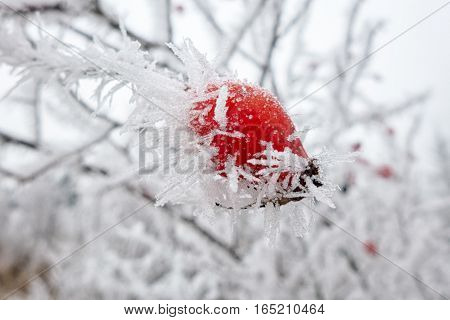 Frost on  red berry - rose hip