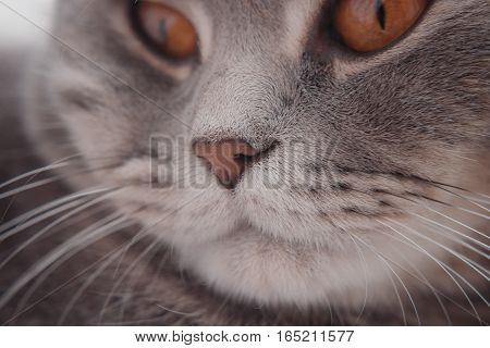 quiet look of the handsome of a cat at a short distance. breeds Scottish Strait