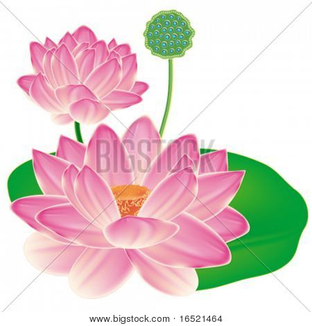 EPS Realistic Oriental lotus - a flower isolated with a sheet, a full-blown bud and fruit box. Vector illustration.