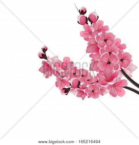 Japanese sakura. Two lush branch dark pink cherry blossom close-up. Isolated on white background. Vector illustration