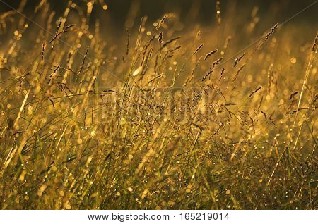 Meadow herbs after a rain in evening light at sunset