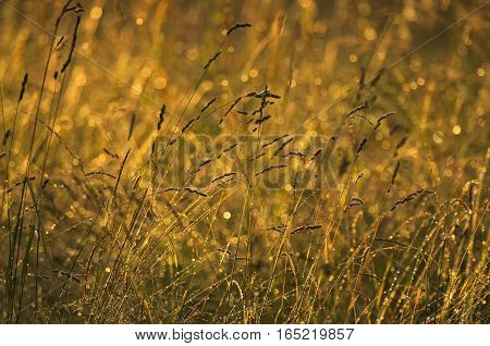 The tending meadow herbs after a rain at sunset