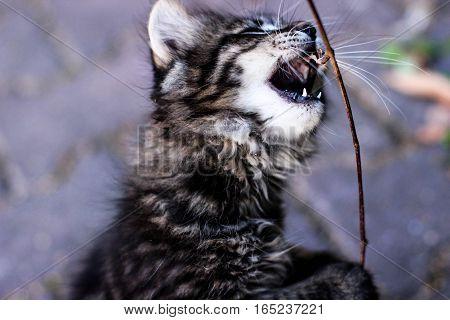 kitten open mouth, the kitten bites, kitten, kitten playing, kitten standing on hind legs, the kitten plays with a stick