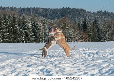 Two struggling dogs (staffordshire bull terriers) in a snow