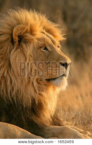 León africano macho grande
