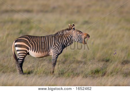 Cape Mountain Zebras