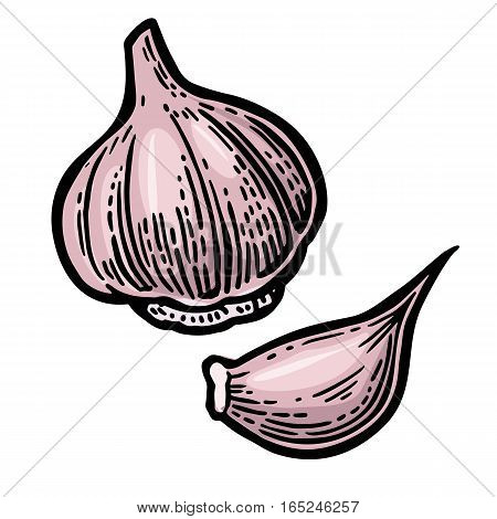 Garlic with slices isolated on white background. Vector color vintage engraving Illustration for menu, web and label