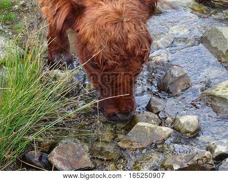 Lake District grazing cow, brown, green grass