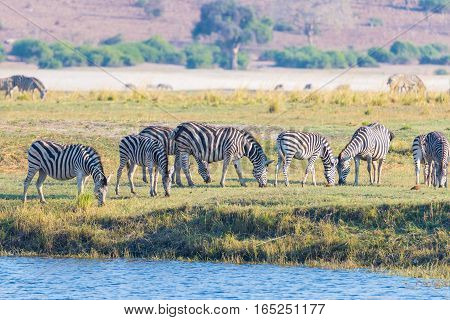 Zebras Walking On Chobe River Bank In Backlight At Sunset. Scenic Colorful Sunlight At The Horizon.