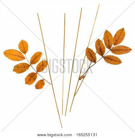 Pressed Leaves Mountain Ash And Blades Of Grass