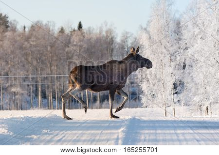 Mother moose crossing a road on a sunny winter day in Sweden