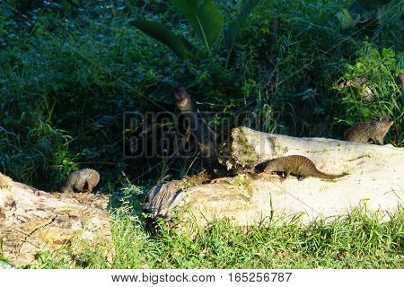 banded mongoose are on feed search an animal of which keep guard