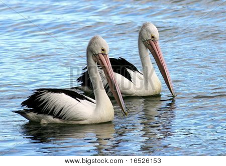 A pair of Australian Pelicans