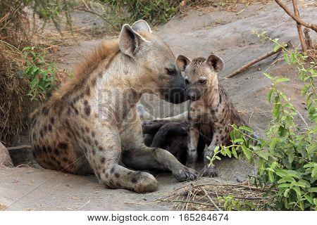 Spotted Hyena (Crocuta crocuta) with Cubs. Ishasha Queen Elisabeth Uganda
