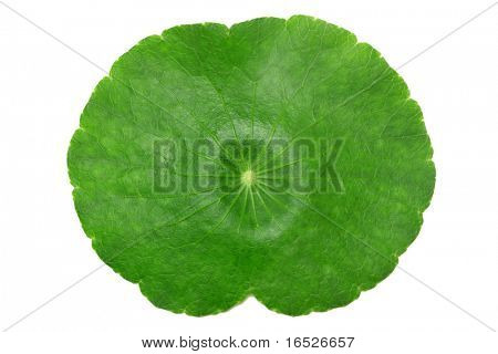 Lotus Lily Leaf isolated on white