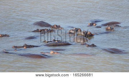Hippopotami rest in the Lake Saint Lucia in South Africa and enjoy the sunny day