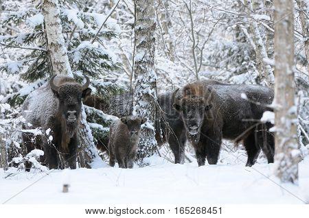 European bison family (Wisent Bison bonasus) in winter forest. National park Ugra Kaluga region Russia. December 2016