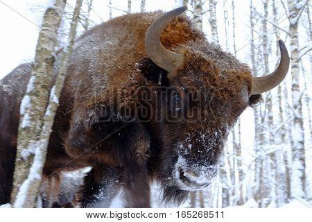 Assault European bison (Wisent Bison bonasus) in winter forest. National park Ugra Kaluga region Russia. January 2017