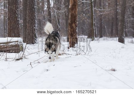 Siberian Husky keeps track of prey by smell in the forest.