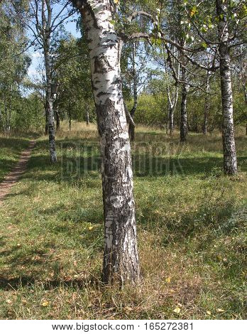 Summer nature landscape with birches vertical view