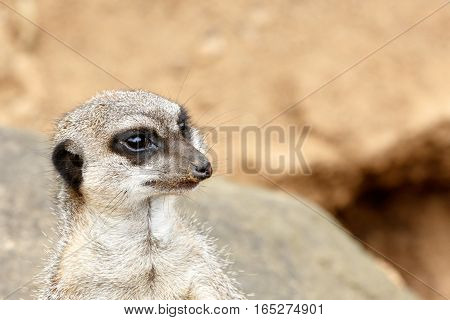Meerkat Standing And Staring In A Distance