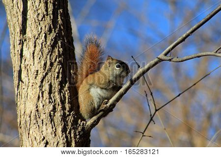 The squirrel sitting on the tree branch