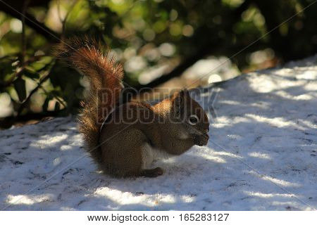 The squirrel sitting  on snow and eating seeds